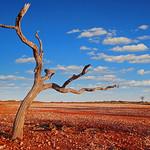 Alan Scott - Desert Tree