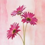 Jill Anderson - Pink Daisies