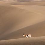 Tuck Leong - Desert Springbok
