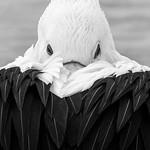 Trace O'Rourke - Pelican sleep and peek
