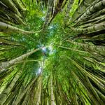 Jill Shaw - Bamboo grove