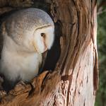 Tim Keane - Barn Owl