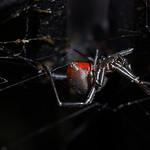 George Skarbek - Redback spider
