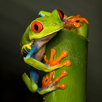 Geoff Shaw - Red-eyed Leaf Frog