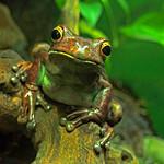 Albert Hutchison - Treefrog