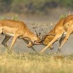 Richard Pilcher - Duelling Impalas