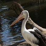 Christopher Herft - Healesville Pelican