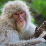 Ros Slater - Japanese Macaque