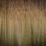 Marie Shaw - Water and reeds