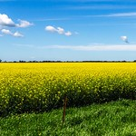 Michelle Golden - Canola Fields