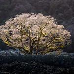 Jill Shaw - Tree in rockfield