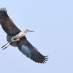 Dianne Willis - GREY HERON