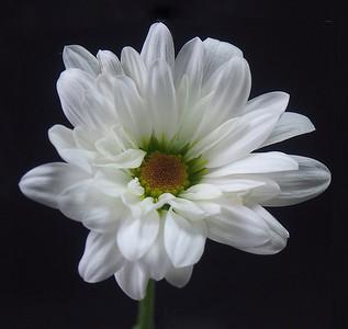 Jill Anderson - Daisy